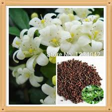 Very Fragrant Plants - free shipping 50pc bonsai murraya jasmine flower seeds very