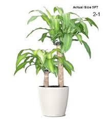 small ornamental plant mystic marble evergreen ornamental plant