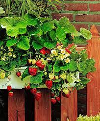 buy window box with 10 strawberry plants bakker com