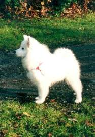 american eskimo dog rescue michigan breeders american eskimo dog breeders in canada and usa