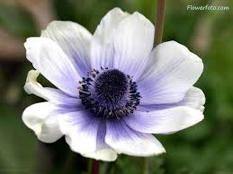 anemones flowers 47 best anemone images on anemone flower anemones