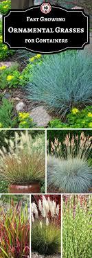 best 25 ornamental grasses ideas on ornamental grass