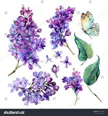 Lilac Flower by Watercolor Collection Purple Lilac Flowers Leaves Stock