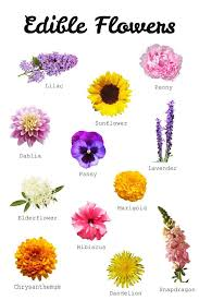 edible photos best 25 edible flowers ideas on edible lavender