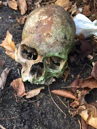 skull found on atwood house museum grounds cape cod chronicle