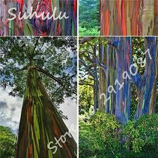aliexpress buy 2017 sale hawaii rainbow eucalyptus tree 50