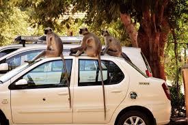 Seeking Ahmedabad Sabarmati Ashram Monkeys Seeking A Ride Picture Of Sabarmati
