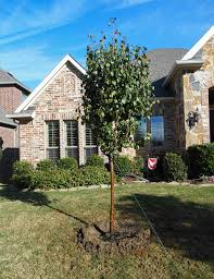 cleveland select pear tree dallas treeland nursery