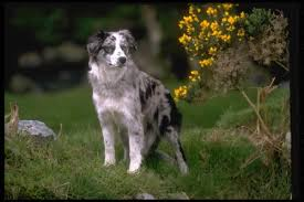 south dakota australian shepherd australian shepherd puppies and dogs for sale in usa