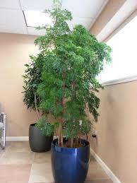 ming aralia cosas para comprar pinterest plants
