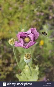 purple poppies hungarian breadseed poppy papaver somniferum
