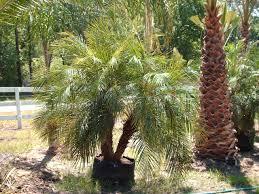 outdoor u0026 garden cute robellini palm tree for beautiful garden