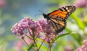 what monarch butterflies prefer earth earthsky