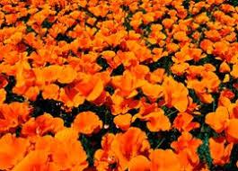 California Poppy California Poppy A Profile Of An Annual Flower Howstuffworks