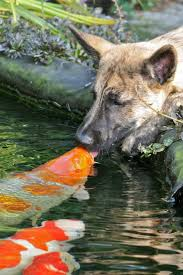 this just proves that having a koi pond in your backyard is