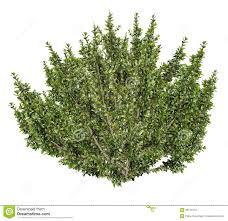 african boxwood tree myrsine africana 3d render stock