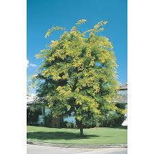 shop 5 5 gallon sunburst honeylocust shade tree l1059 at lowes com