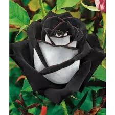 white roses for sale 10 seeds china black white flower seeds in bonsai from