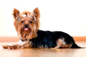 how to choose haircut for yorkie exotic art yorkshire terrier