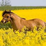 Horse Breeds – Saddlebreds, Appaloosas, Paint Horses, Quarter ...