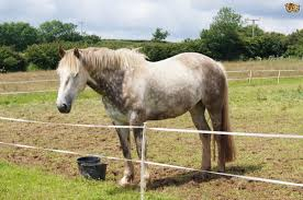 irish draught horse breed information buying advice photos and