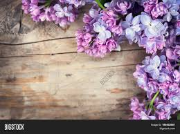lilac flowers lilac flowers bunch wood image photo bigstock