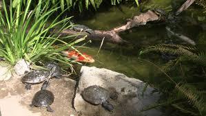 baby turtles for sale nauti lass ponds u0026 critters inc
