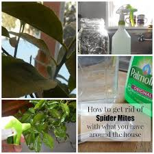 best 25 spider mites ideas on pinterest diy insecticidal soap