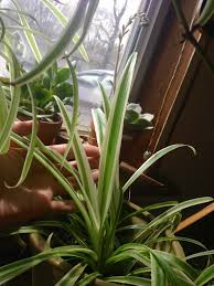 Spider Plant My 6 Year Old Spider Plant Boring As He May Seem He U0027s Been With