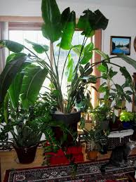 large houseplants white bird of paradise indoor plant care u2013 best bird 2017