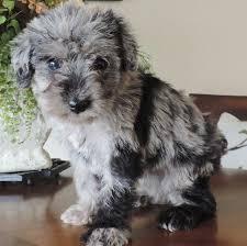 doodle doo labradoodles best 25 labradoodle puppies ideas on labradoodles