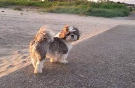 shih tzu with curly hair shih tzu tail issues