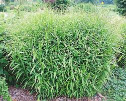 plant focus northern sea oats michigan gardener