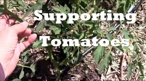 how to support tomato plants 3 different methods staking caging