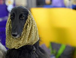 afghan hound calendar 2015 scenes from the 2015 westminster kennel club dog show