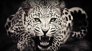 zedge wallpapers for laptop mx 159 cheetah wallpapers cheetah adorable desktop images for
