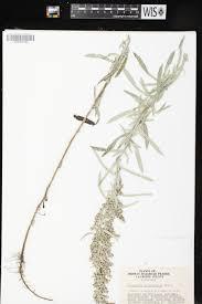 Sun Tan City La Crosse Wi Online Virtual Flora Of Wisconsin Artemisia Ludoviciana