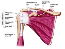Anatomy Of Rotator Cuff Rotator Cuff Doctor Chicago Shoulder Specialist Chicago