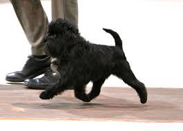 affenpinscher puppies florida best in show daily