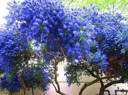 blue garden plants blue aster garden plants blue rock garden