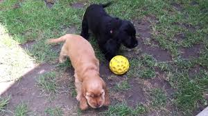 belgian shepherd for sale in malaysia victoria english cocker spaniel puppy for sale euro puppy