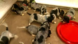 bluetick coonhound forums blue tick hound puppy free to good home page 5 sowal forum