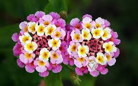 fragrant flowers lantana beautiful plant with fragrant flowers for the garden