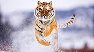 siberian snow tiger iphone wallpapers iphone wallpaper hd