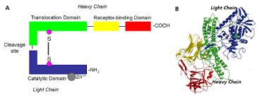 heavy chain light chain biomodels database