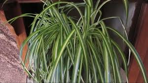 Spider Plant How To Care For Chlorophytum Comosum The Spider Plant Youtube