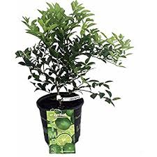 meyer lemon tree fruiting size branched plant 8