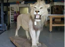 lions for sale there are 3500 lions left in africa great cats of the world