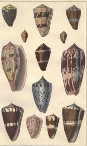 engraving items 1850s antique shell print engraving colored conchology