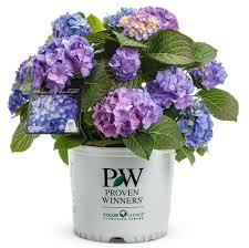 Hydrangea Flowers Let U0027s Dance Blue Jangles Reblooming Hydrangea Hydrangea